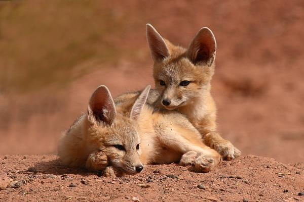 Kit Fox Pups On A Lazy Day Print by Max Allen