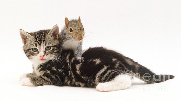 Kitten And Squirrel Print by Jane Burton