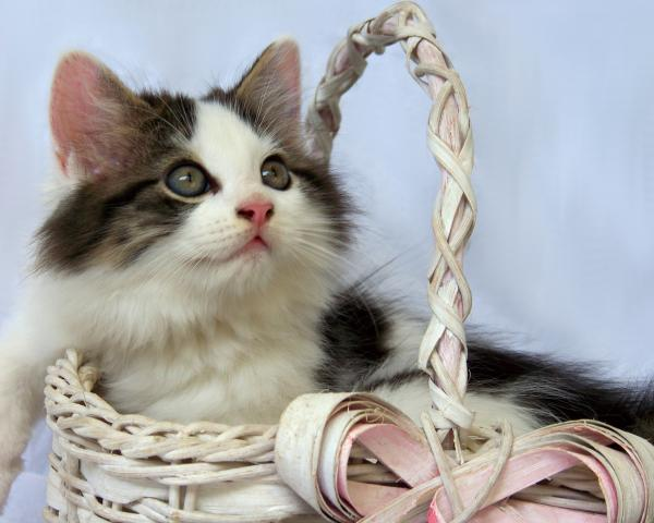 Kitten In Basket Print by Jai Johnson