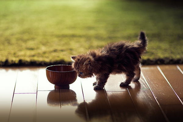 Kitten Investigating Miso Soup Bowl Print by Benjamin Torode