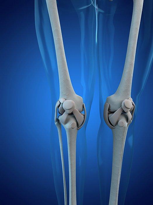 Knee Anatomy, Artwork Print by Sciepro