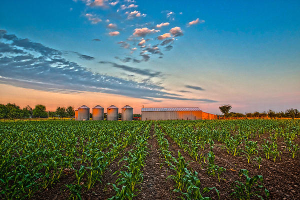 Knee High Sweet Corn Print by Steven Sparks
