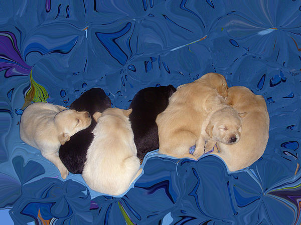 Lab Pups 1 Print by Aimee L Maher Photography and Art