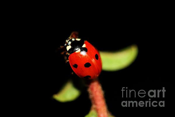 Lady Bug Climb Print by Nick Gustafson