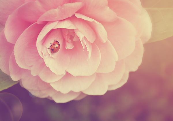 Ladybird On Camellia Print by Photo - Lyn Randle