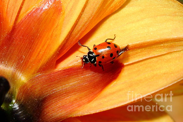 Ladybug On Orange Yellow Dahlia . 7d14686 Print by Wingsdomain Art and Photography