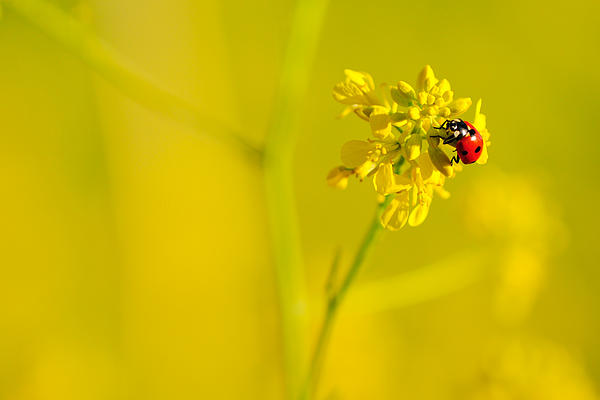 Ladybug On Yellow Flower Print by Hegde Photos