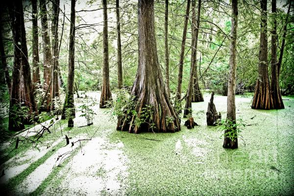 Lake Martin Swamp Print by Scott Pellegrin