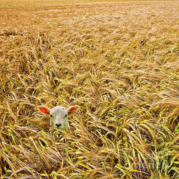 Lamb With Barley Print by Meirion Matthias