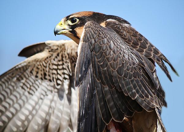 Lanner Falcon Print by Paulette Thomas