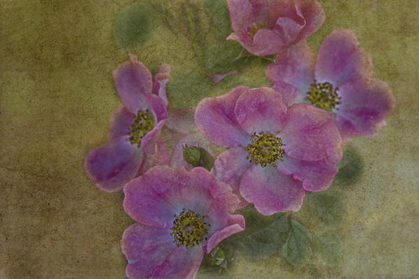 Last Bloom Print by Rebecca Cozart