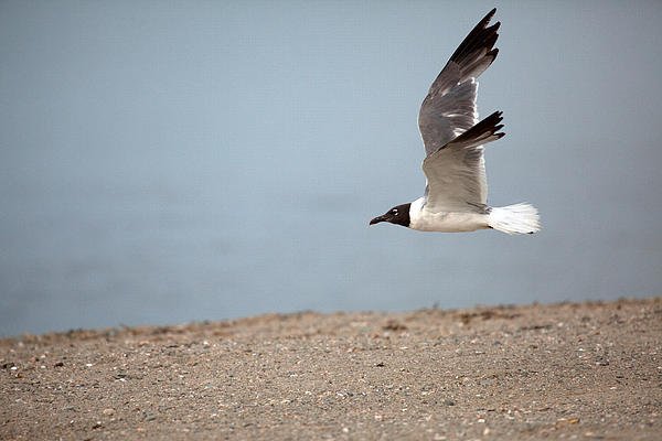 Karol  Livote - Laughing Gull in FLight