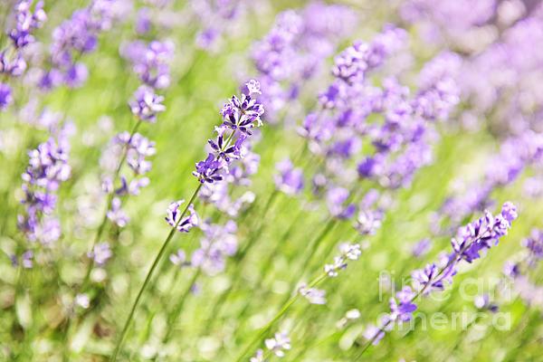 Lavender Blooming In A Garden Print by Elena Elisseeva