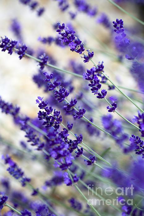 Lavender Blue Print by Frank Tschakert