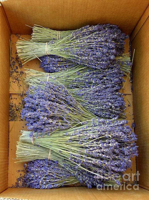 Lavender Bundles Print by Lainie Wrightson