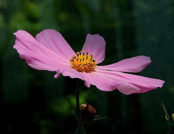 Gary Harris - Lavender Cosmos