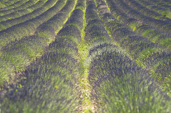 Lavender Field Print by Yves ANDRE