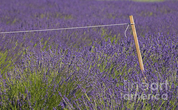 Lavender Fields  Print by Anahi DeCanio