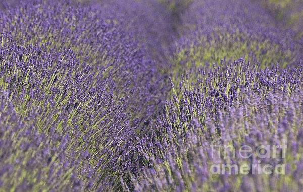Lavender Fields Heart Print by Anahi DeCanio