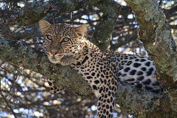 TB Sojka - Lazy Leopard