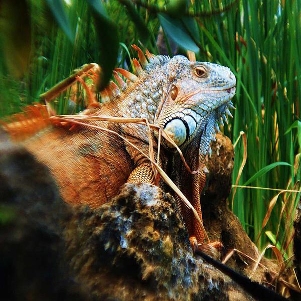 Joy Braverman - Lazy Lizard Lounging