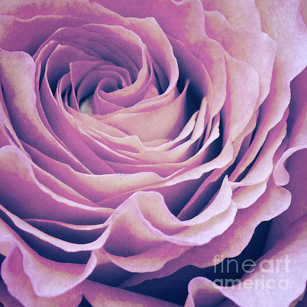 Le Petale De Rose Pourpre Print by Angela Doelling AD DESIGN Photo and PhotoArt
