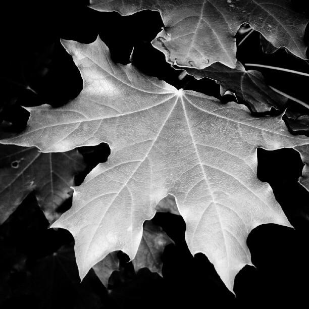Black And White Nature Prints leaf black white tree