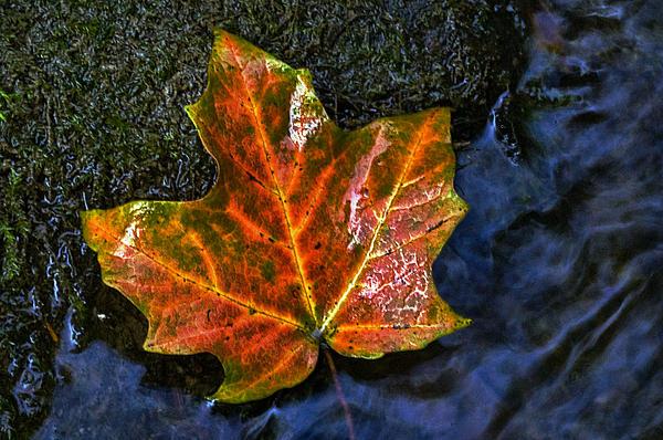 Leaf Of Autumn Print by Cheryl Cencich