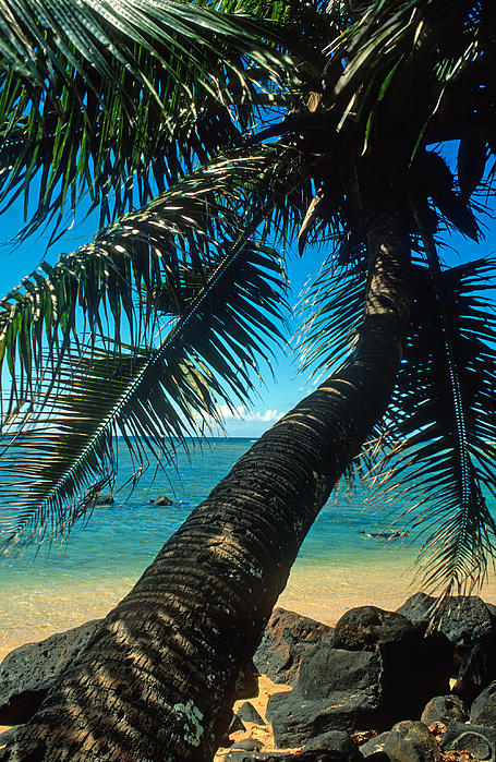 Kathy Yates - Leaning Palm on Anini Beach