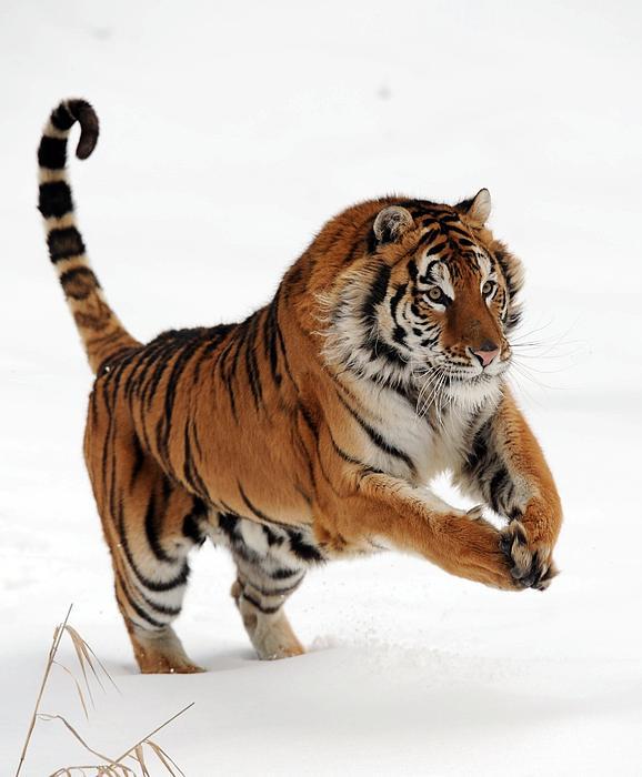 Leaping Tiger By Jacki Pienta