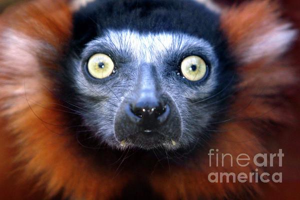 Alan Look - Lemur glare