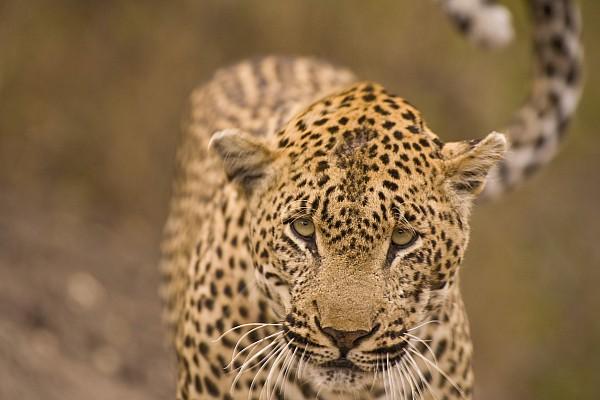 Leopard Panthera Pardus, Arathusa Print by Stuart Westmorland