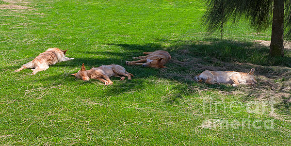 Let Sleeping Dogs Lie Print by Louise Heusinkveld