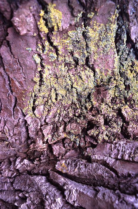 Lichen On Tree Bark Print by John Foxx