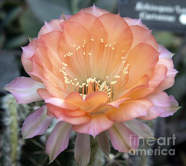 Elizabeth Chevalier - Like the flower waiting to bloom