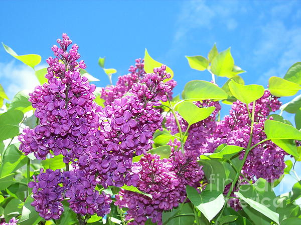Judy Via-Wolff - Lilac and Blue Sky 3