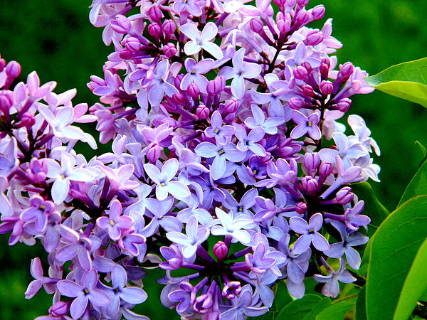 Billie sue  Crownover - Lilac