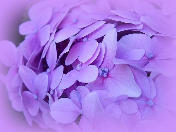 Lorainek Photographs - Lilac Petals