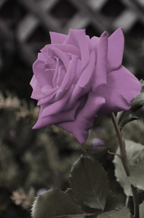 Lilac Rose Print by Vijay Sharon Govender