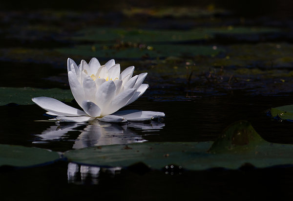 Lilly Of The Water Print by Michel Soucy