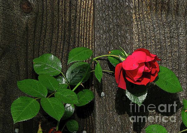 Deborah Johnson - Lilting Rose