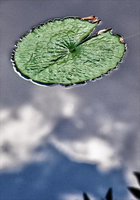 Lily Pad Print by Robert Ullmann