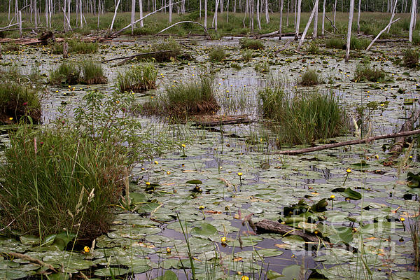 Lilypad Swamp Print by Merv Scoble