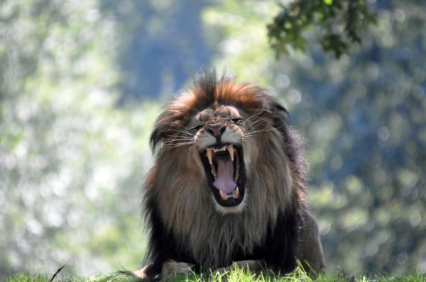 Teresa Blanton - Lion Series 11