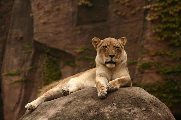 Lioness Print by B Rossitto