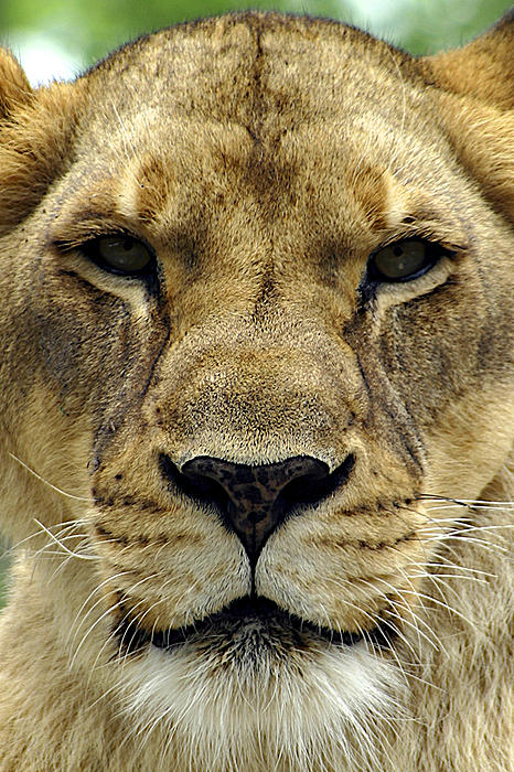 Lioness Face by Stuart Rosenthal