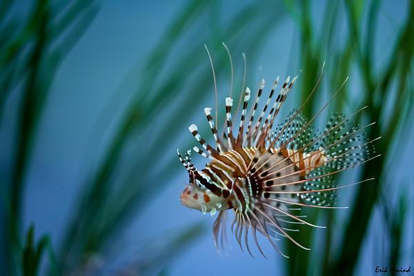 Lionfish Print by Erik Hovind