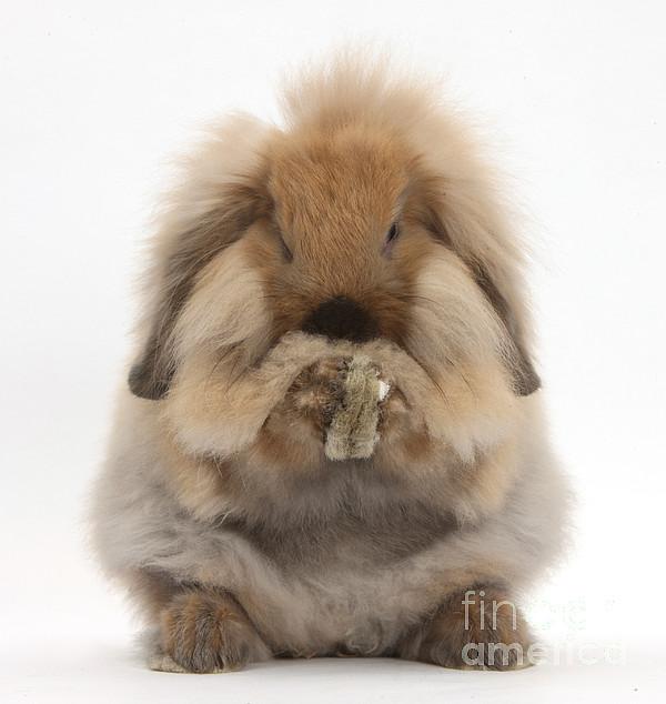 Lionhead X Lop Rabbit Grooming Print by Mark Taylor