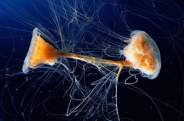 Lions Mane Jellyfish Cyanea Capillata Print by George Grall