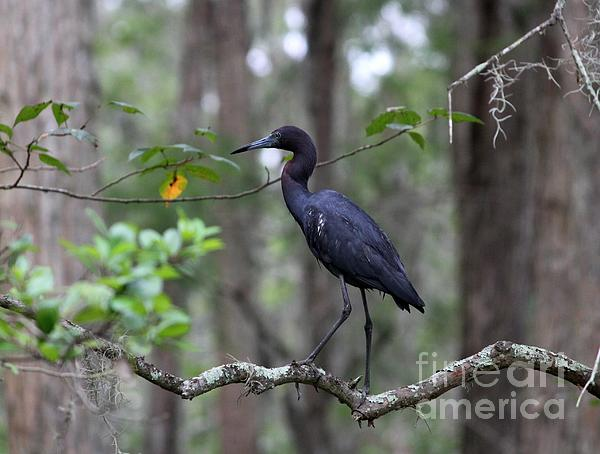 Little Blue Heron Print by Theresa Willingham